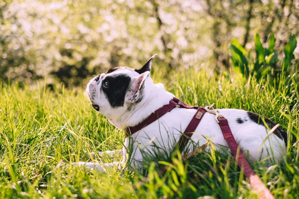 French Bulldog posing on a walk in the park - free stock photo