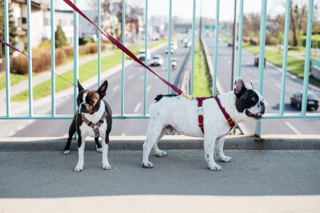 Two dogs on a walk in the city 2 - free stock photo