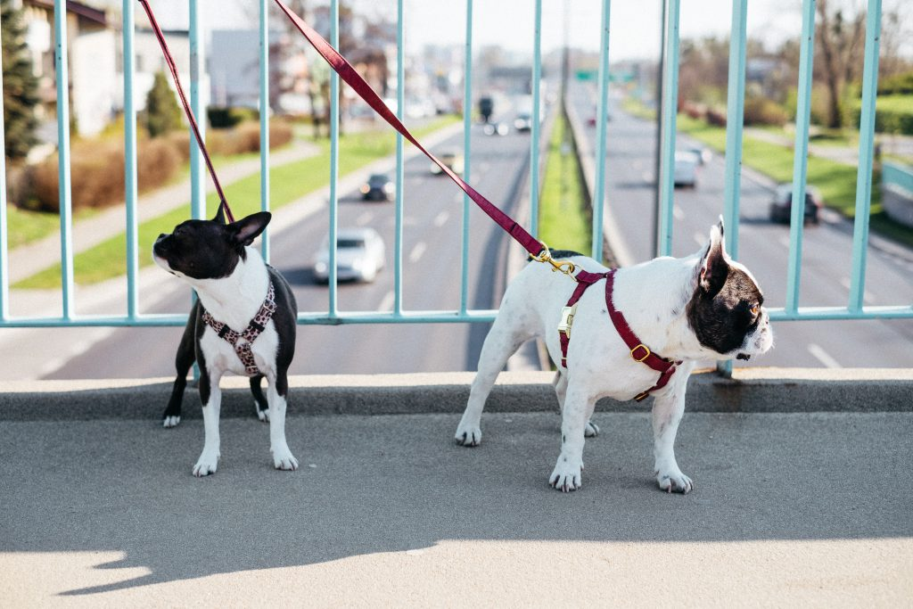 Two dogs on a walk in the city 3 - free stock photo