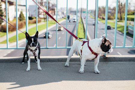 Two dogs on a walk in the city 4 - free stock photo
