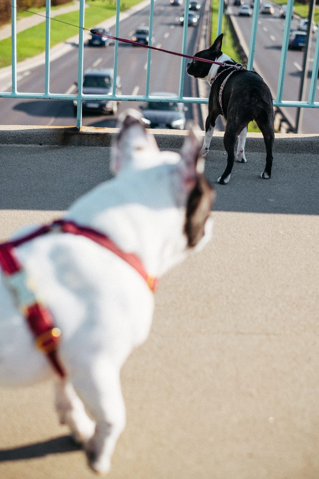 Two dogs on a walk in the city 5 - free stock photo