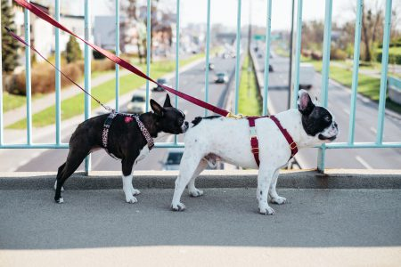 Two dogs on a walk in the city 7 - free stock photo
