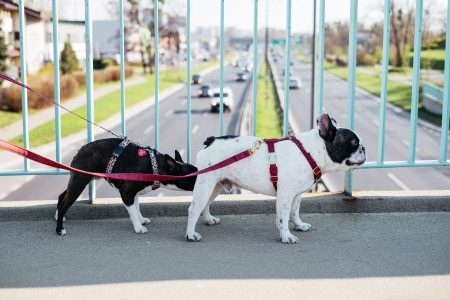 Two dogs on a walk in the city 8 - free stock photo