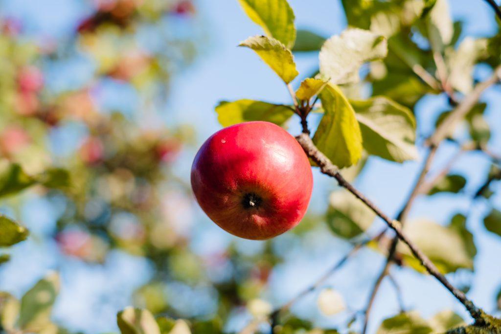 Apple on a tree - free stock photo