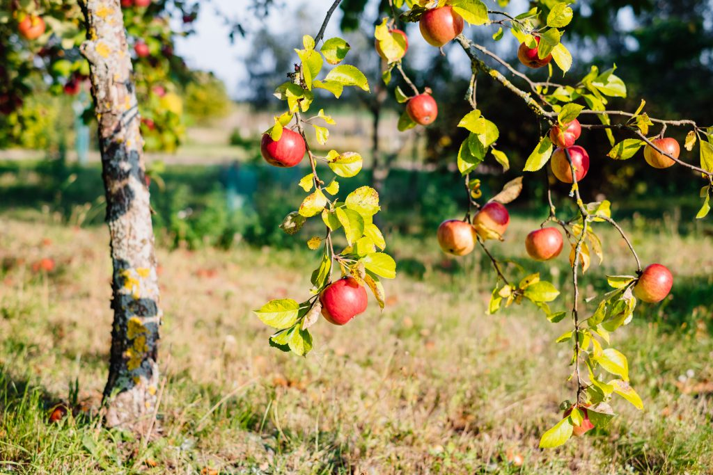 Apple tree 3 - free stock photo