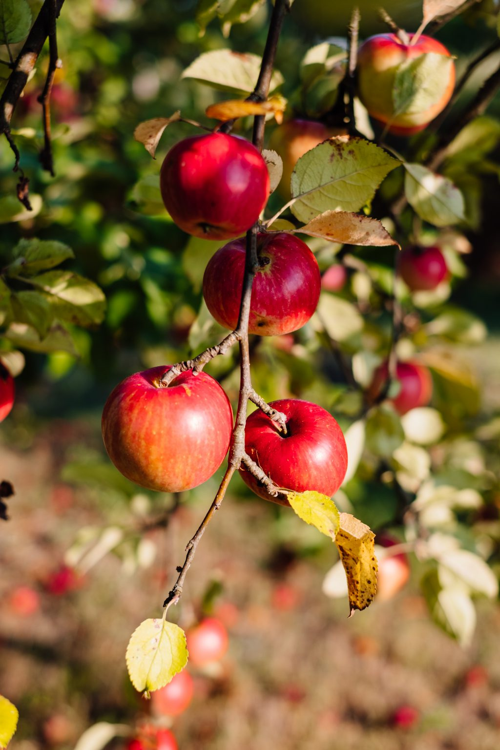 Apples on a tree 7 - free stock photo