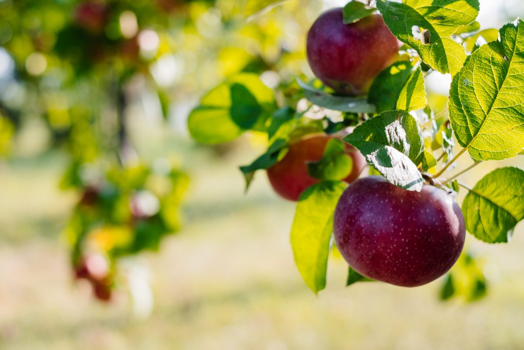 Apples on a tree 8 - free stock photo