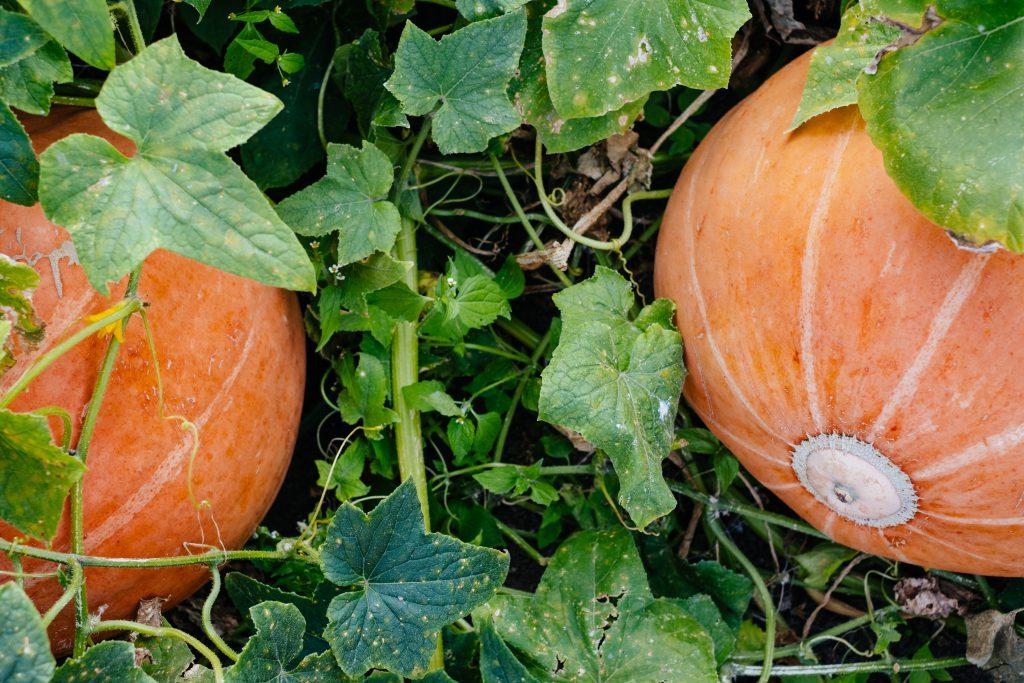 Big orange pumpkins in the garden 5 - free stock photo