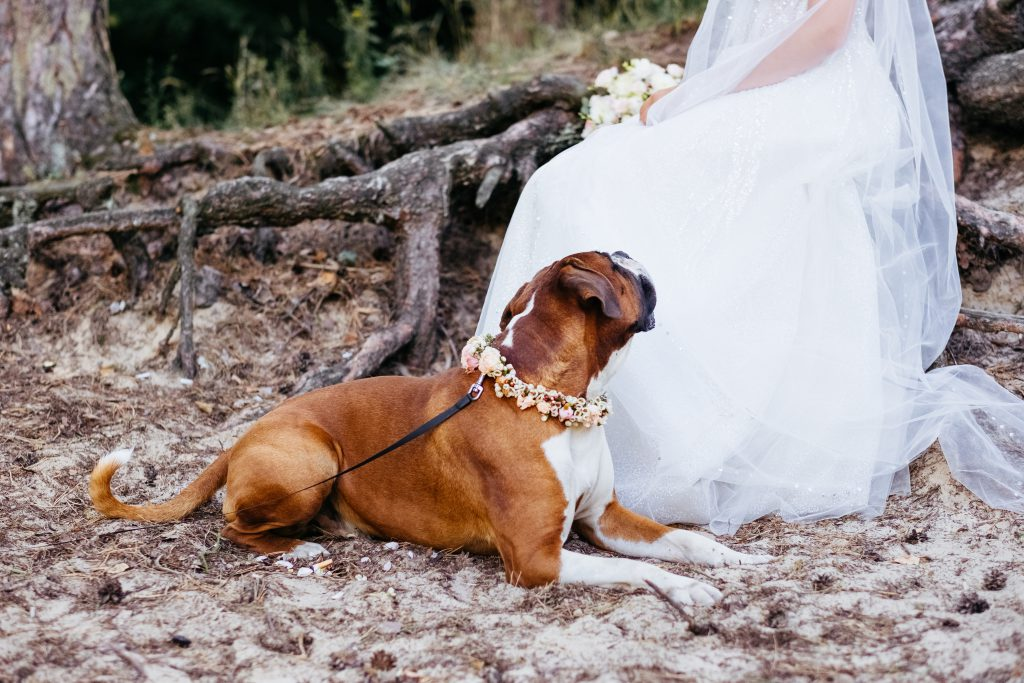 Boxer wearing a floral collar guarding the bride - free stock photo