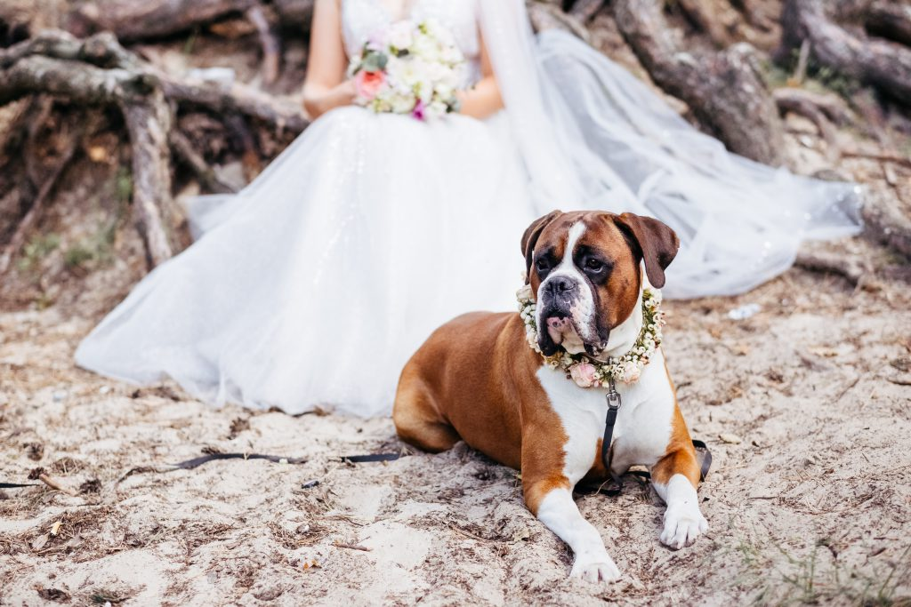 Boxer wearing a floral collar guarding the bride 2 - free stock photo