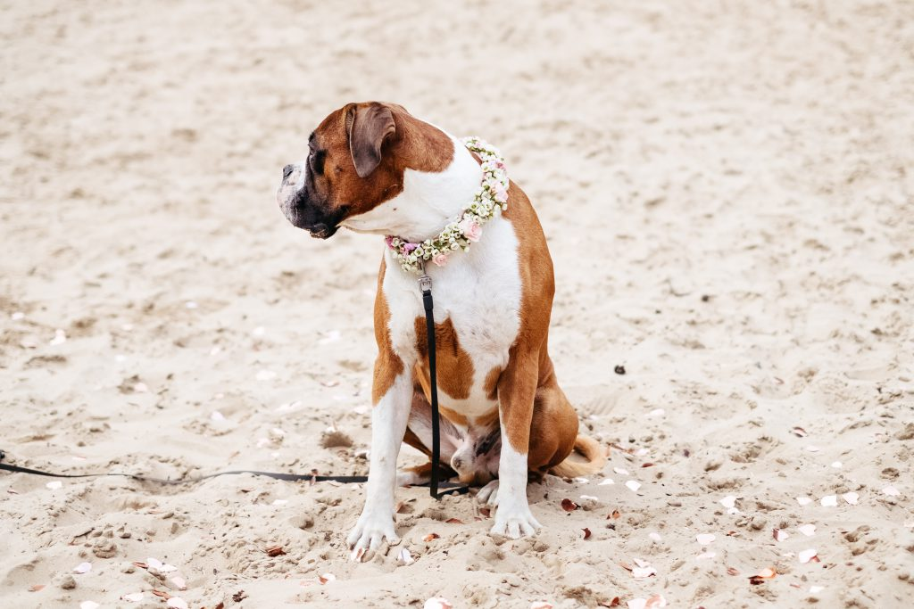 Boxer wearing a floral collar on a beach - free stock photo