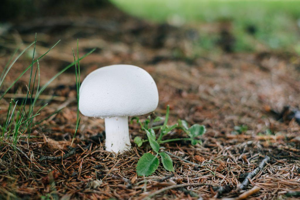 Champignon mushroom - free stock photo