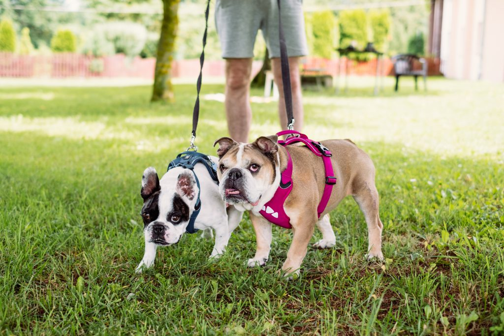 English and French Bulldogs on a leash - free stock photo