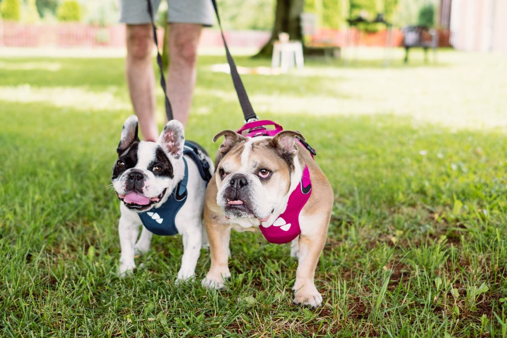 English and French Bulldogs on a leash 2 - free stock photo