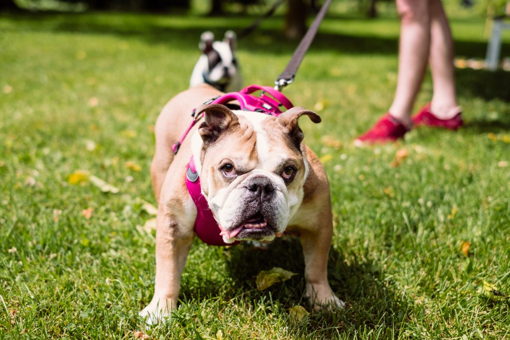 English Bulldog on a leash staring into the camera - free stock photo