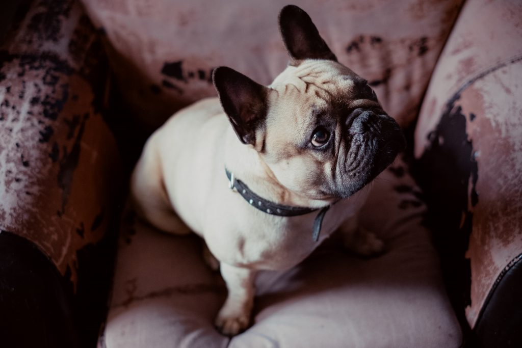 French Bulldog in an armchair - free stock photo
