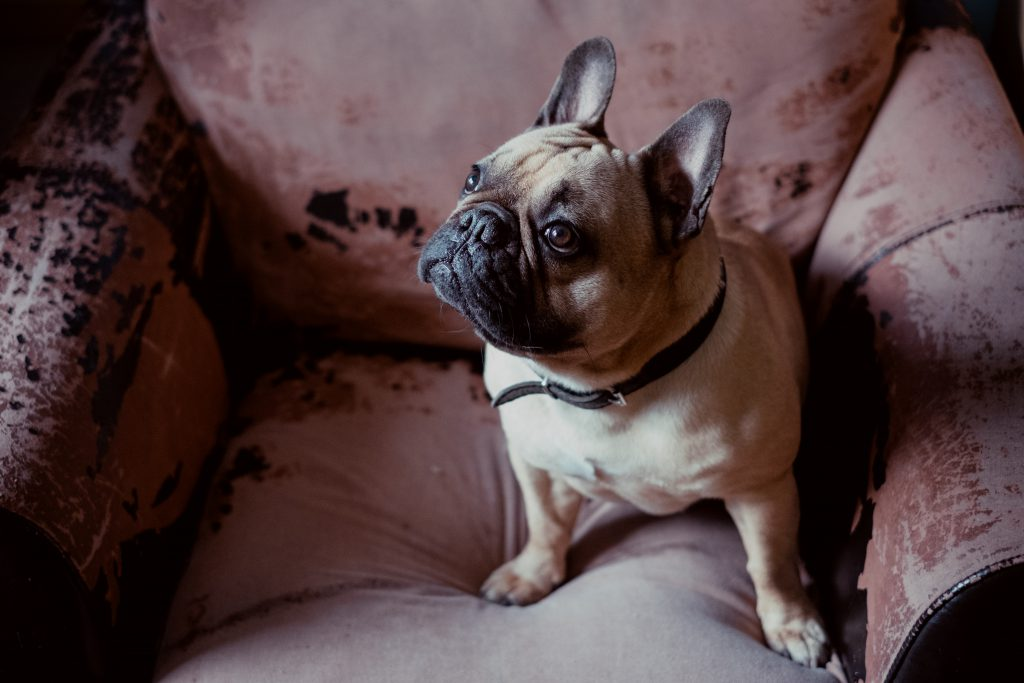 French Bulldog in an armchair 2 - free stock photo