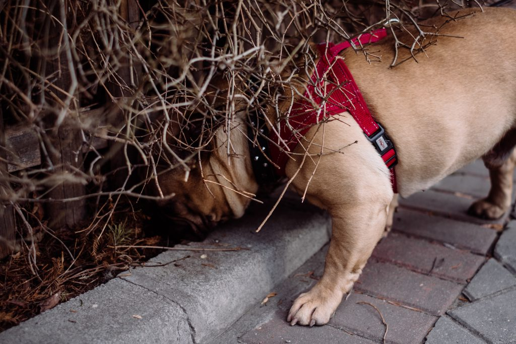 French Bulldog sniffing a fence - free stock photo