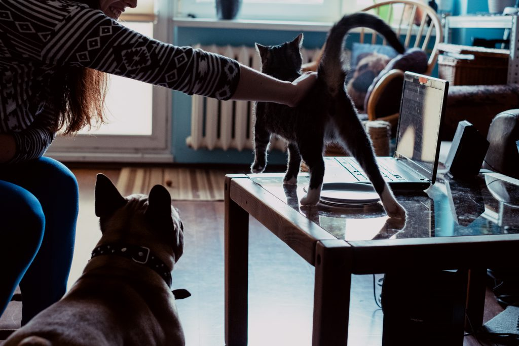 French Bulldog watching his owner pet a cat - free stock photo