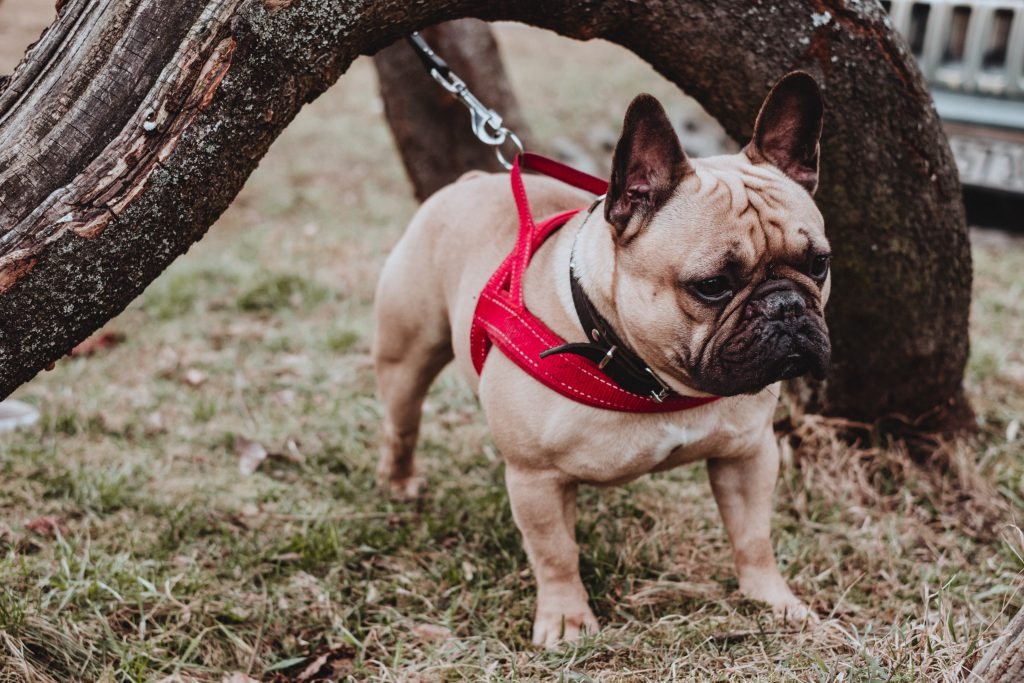 French Bulldog wearing a red harness 2 - free stock photo