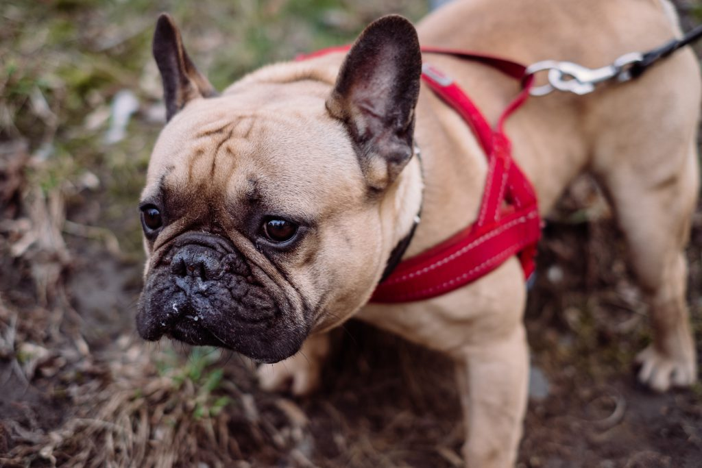 French Bulldog wearing a red harness 3 - free stock photo