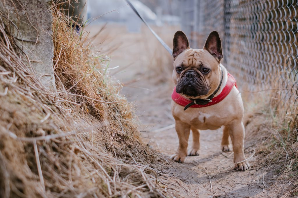 French Bulldog wearing a red harness 4 - free stock photo