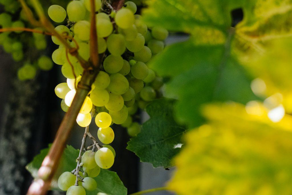 Green grapes 7 - free stock photo