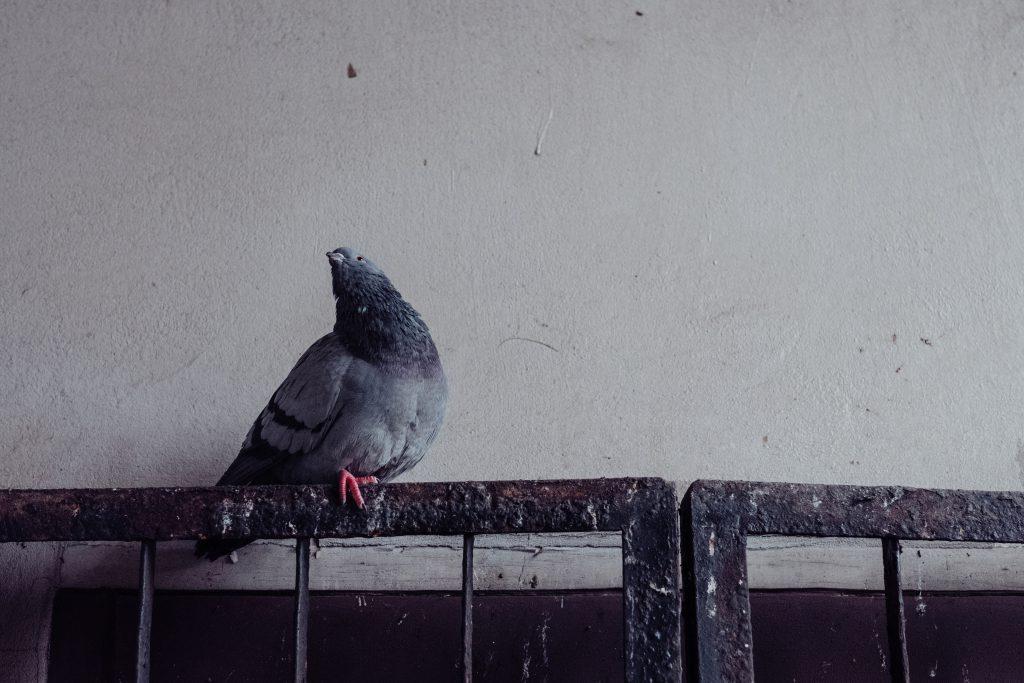Grey pidgeon on a rusty metal railing - free stock photo