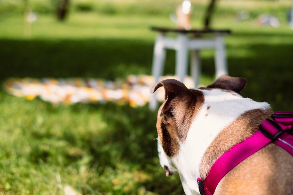 Picnic with an English Bulldog - free stock photo