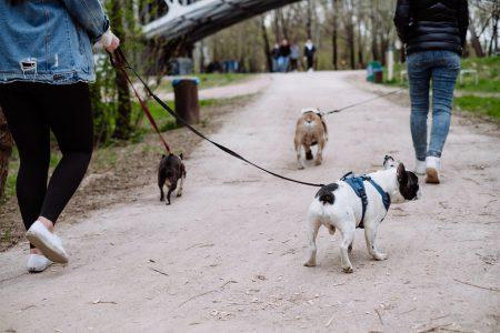 Three dogs on a walk - free stock photo