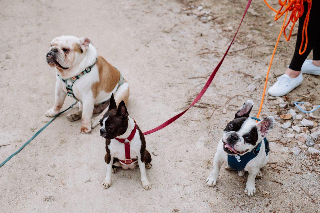 Three dogs on a walk 2 - free stock photo