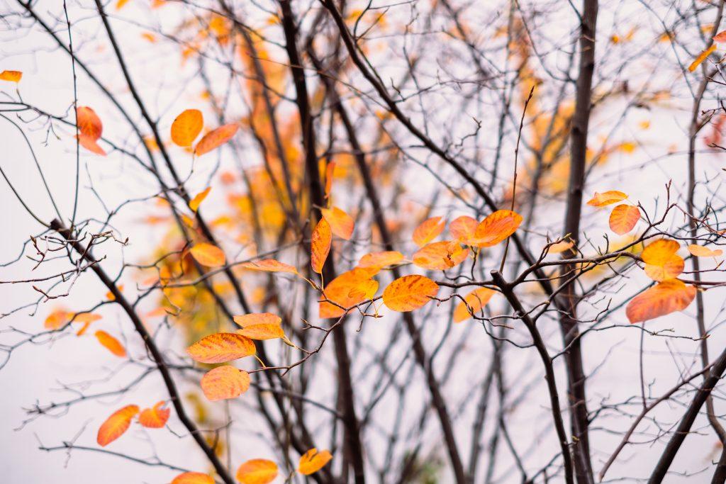 Autumn beech leaves 4 - free stock photo