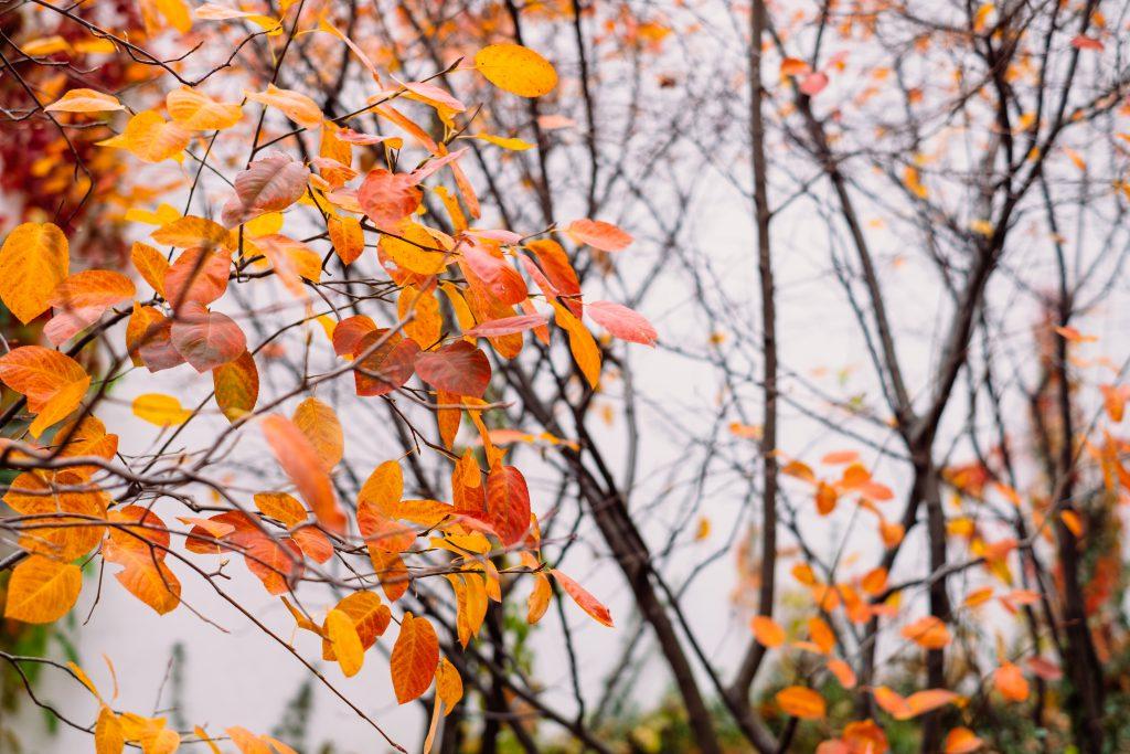 Autumn beech leaves 5 - free stock photo