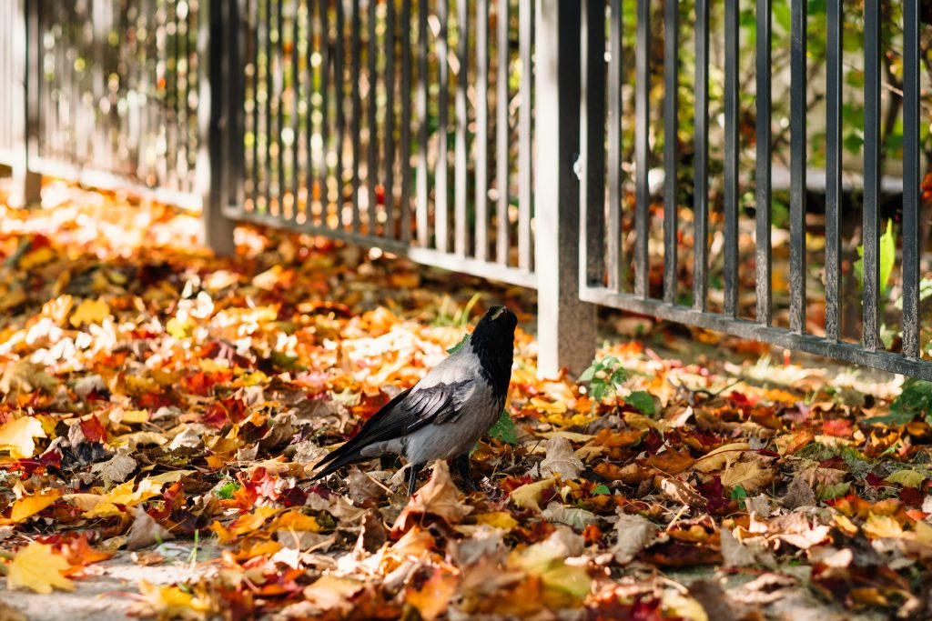 Black hooded crow in colourful autumn leaves - free stock photo