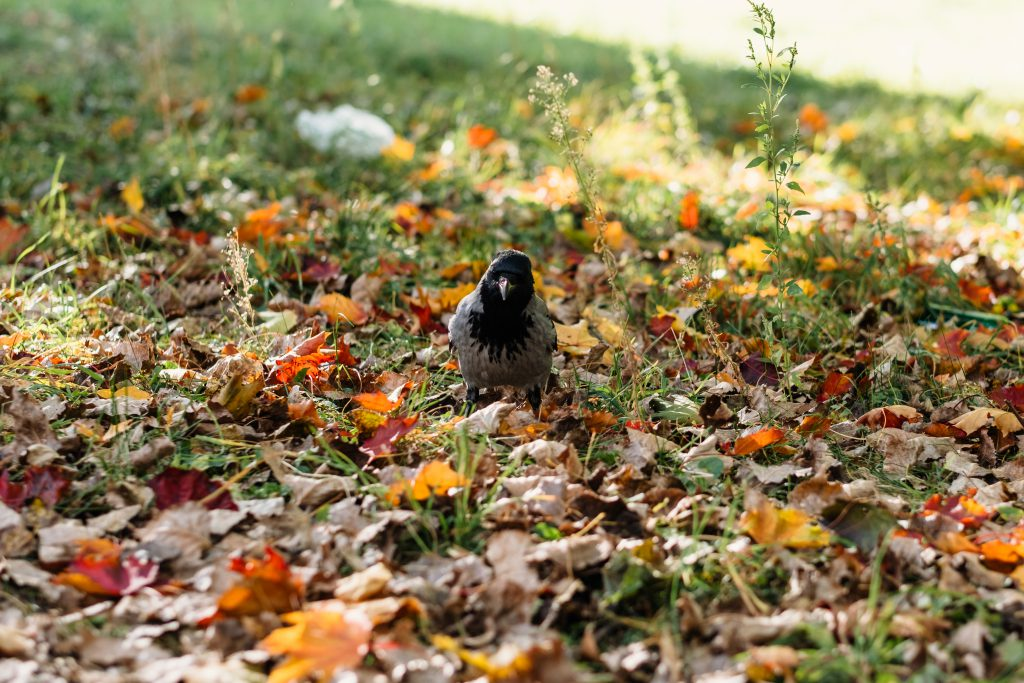Black hooded crow in colourful autumn leaves 2 - free stock photo
