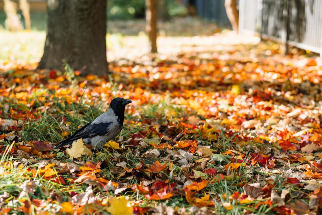 Black hooded crow in colourful autumn leaves 3 - free stock photo