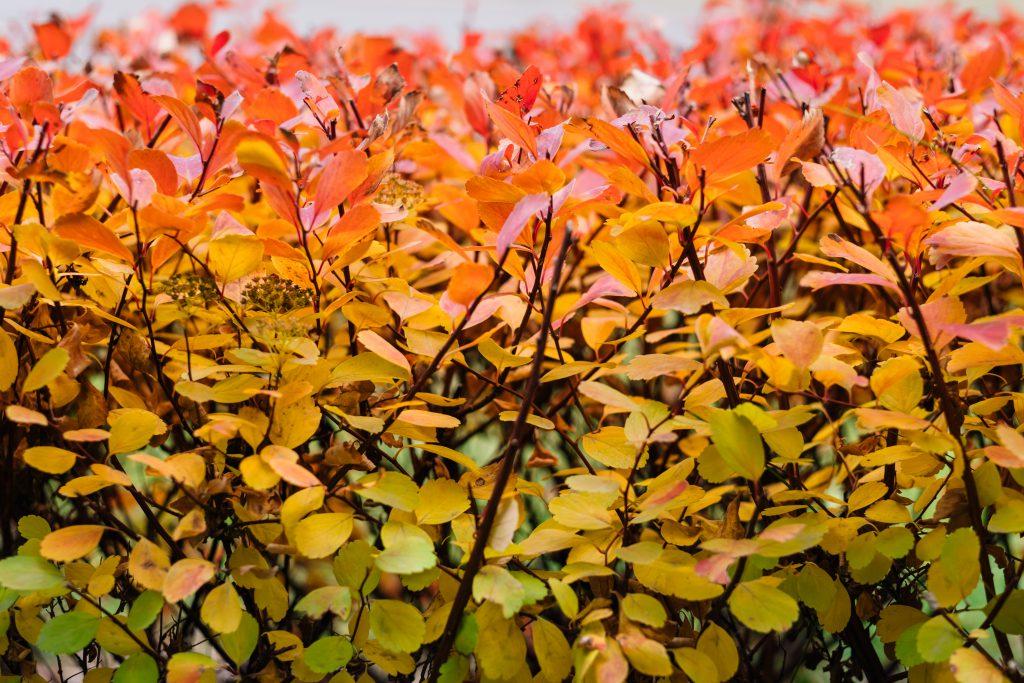 Colourful autumn hedge - free stock photo