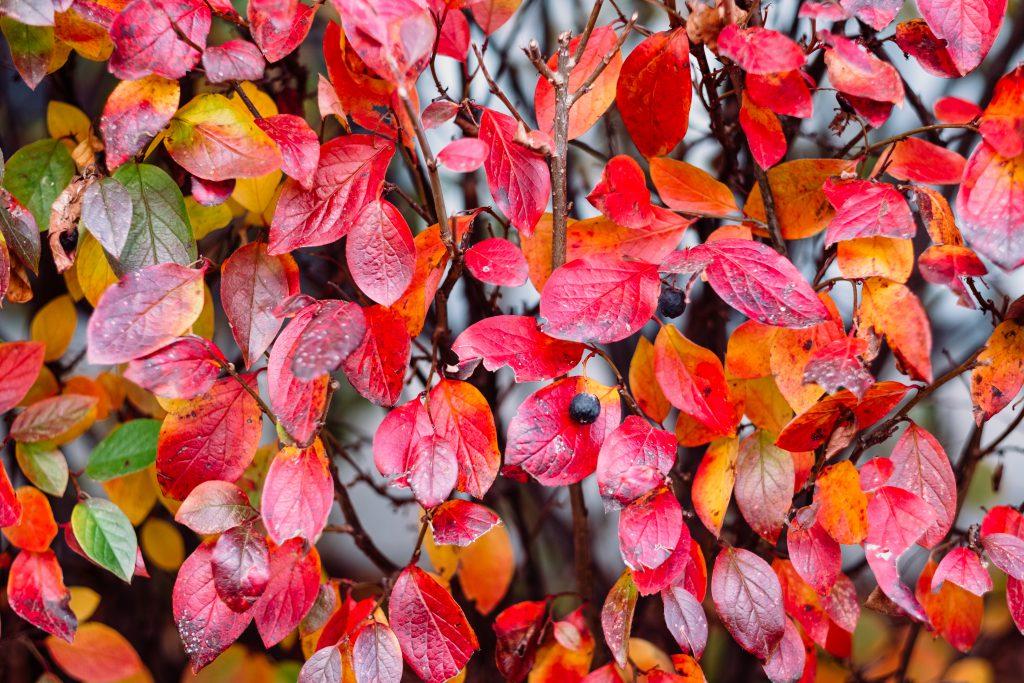 Colourful autumn hedge 2 - free stock photo