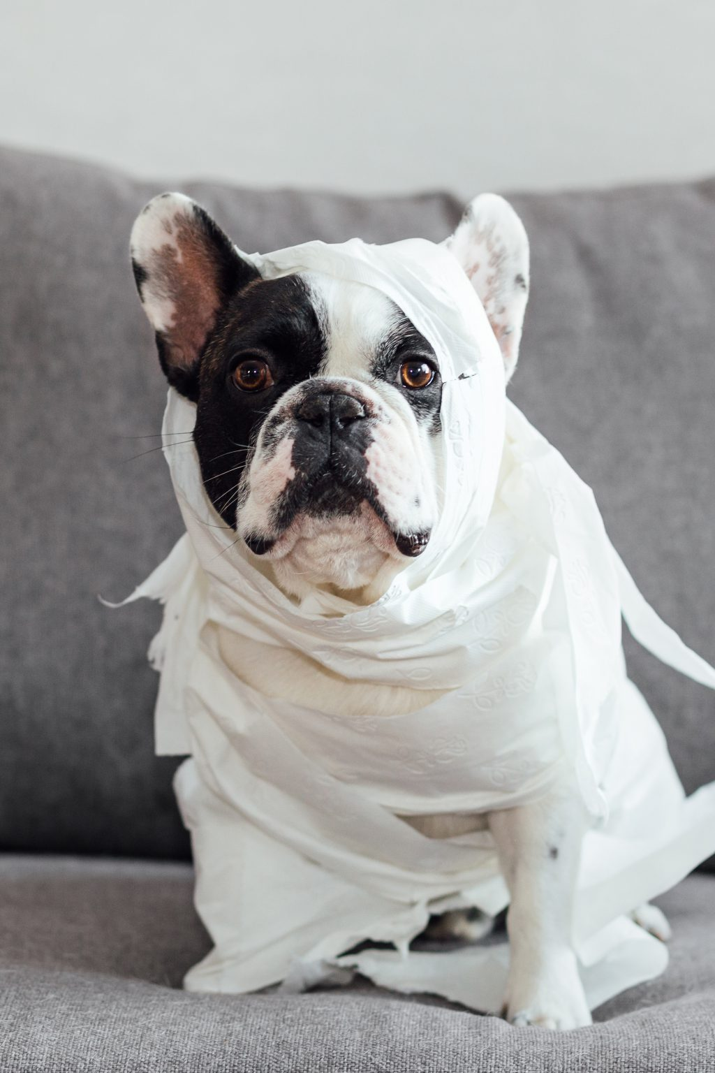French Bulldog dressed as a mummy - free stock photo