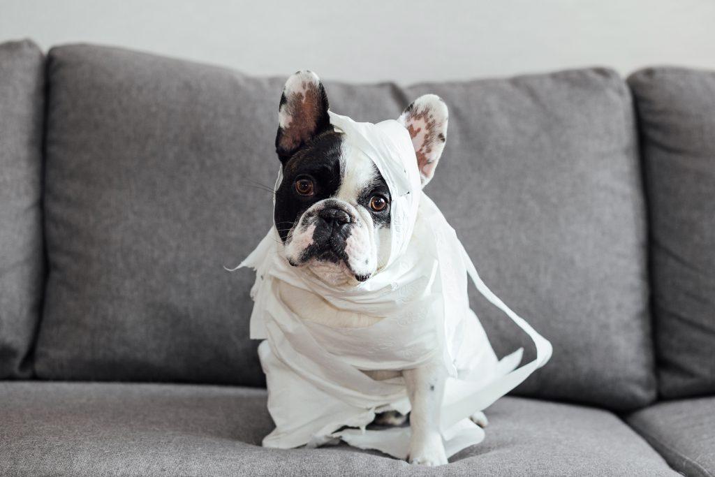 French Bulldog dressed as a mummy 2 - free stock photo