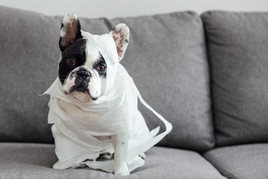 French Bulldog dressed as a mummy 3 - free stock photo