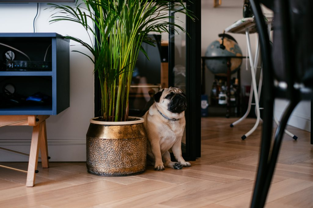 A pug in a modern apartment - free stock photo