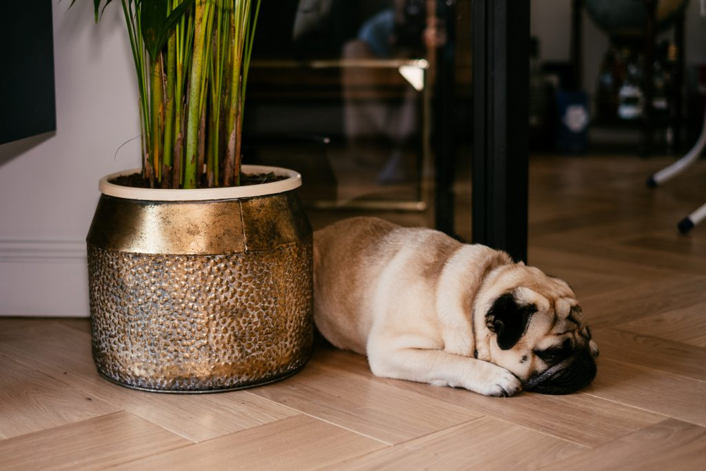 A pug in a modern apartment 2 - free stock photo