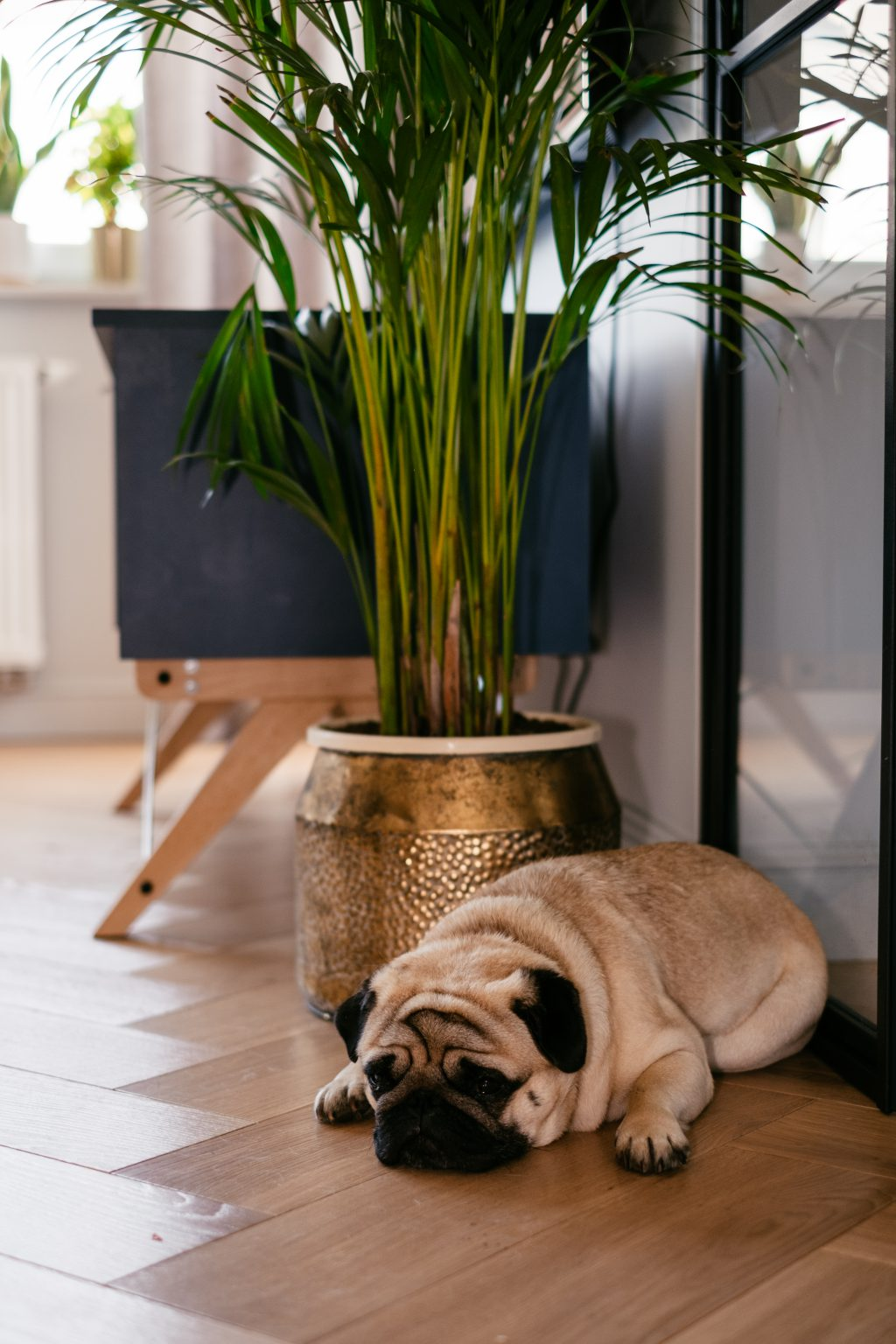 A pug in a modern apartment 3 - free stock photo