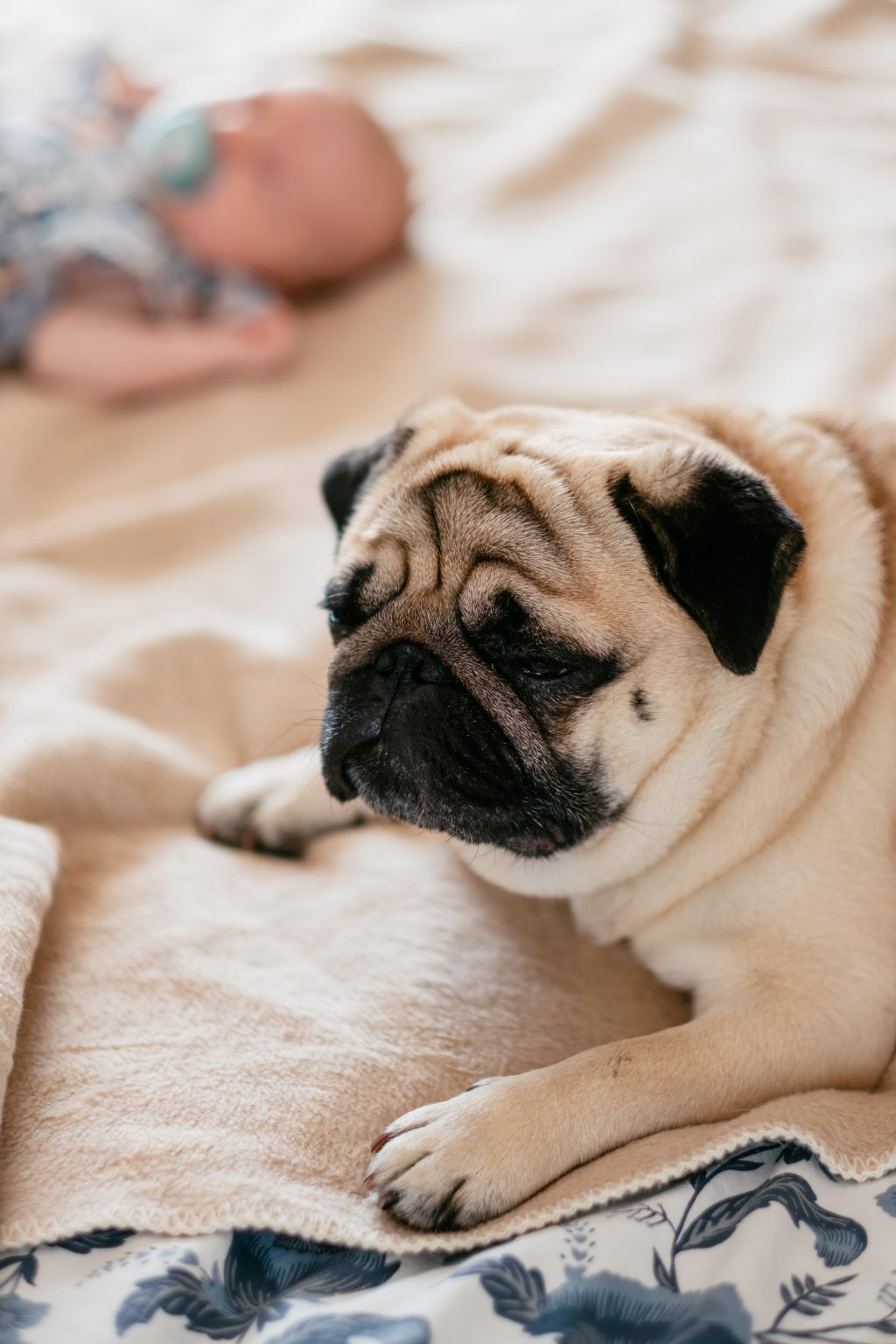 A pug lying on a bed with a baby - free stock photo