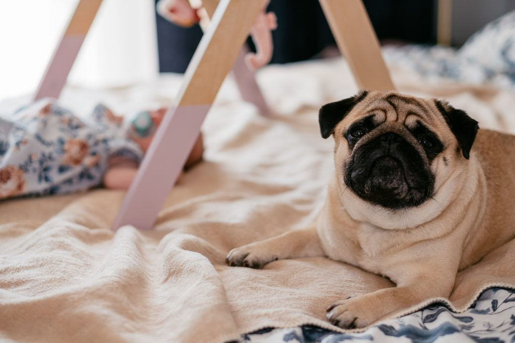 A pug lying on a bed with a baby 2 - free stock photo
