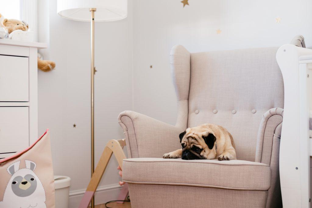 A pug sleeping on an armchair in a nursery room - free stock photo